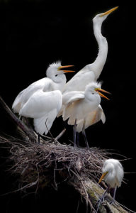 A Touch of Compassion - Mother egret with her babies