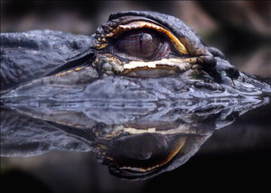 Deadly Reflection - close up of an alligators eye