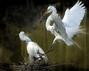 Essence of Life - Egrets
