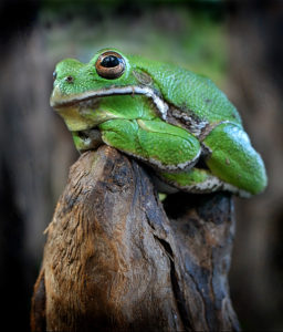 Waiting for Courtship - vibrant green bullfrog