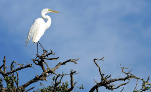 Egret lost in thought