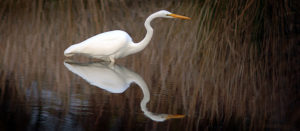 Reflection Great Egret
