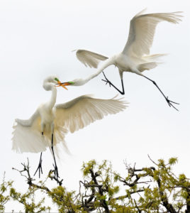 Trials and tribulations egrets