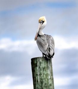 Beauty Within the Eye-Brown Pelican