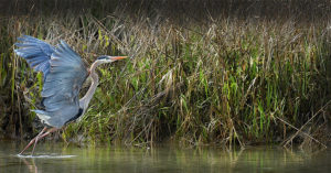 Marsh Beauty - Blue Heron