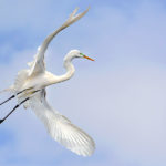 Softness of Grace - the Great Egret